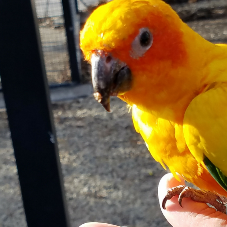 Sun Conure perched on finger at Tracy Aviary