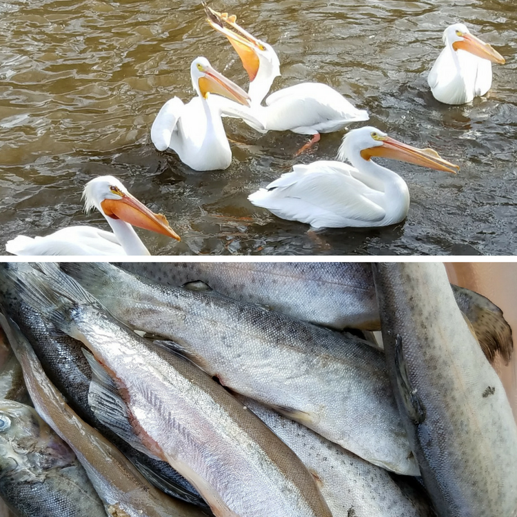 Feed Fish to the Pelicans