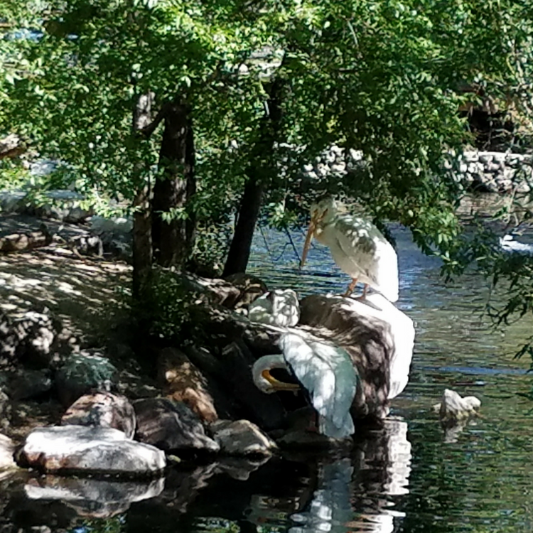 Pelicans preening under the shade of a tree