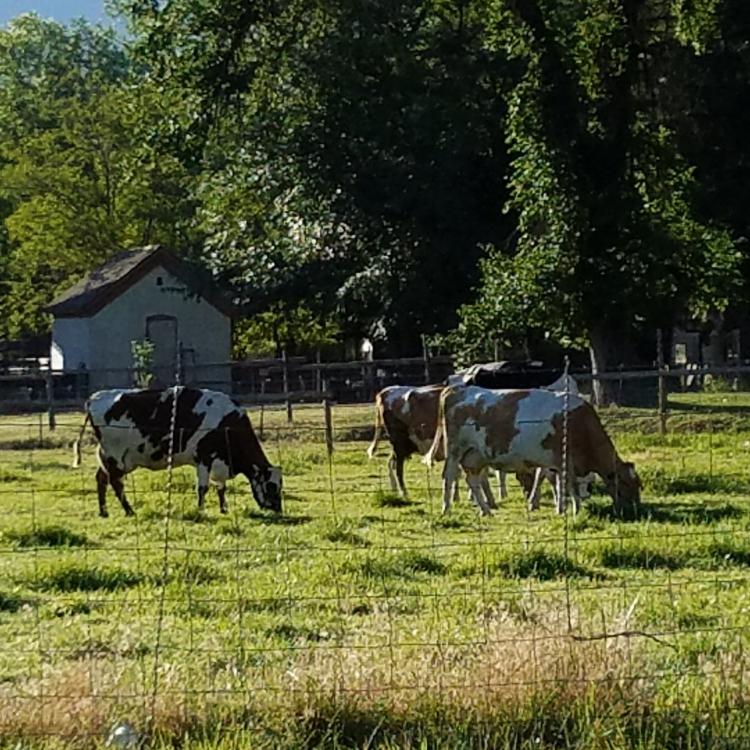 cows in field at Wheeler Farm