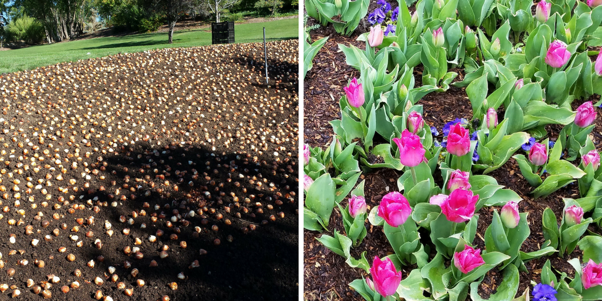 Alt=tulip bulbs, blooming tulips